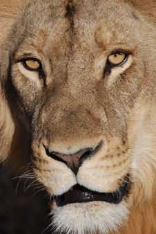 Free Staring Lion Stock Photography - 5964192