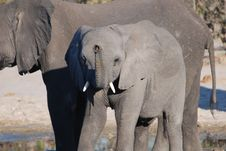Baby Elephant Trumpets With Mother Royalty Free Stock Photo