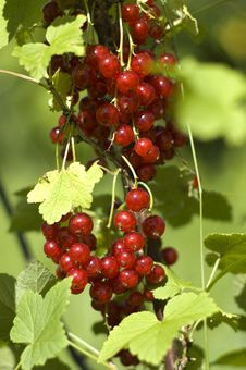 Free Red Currant Stock Photography - 5964722