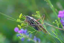 Free Grasshopper Royalty Free Stock Photography - 5964987