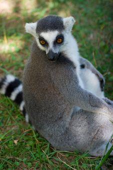 Free Lemur Stock Photo - 5965010