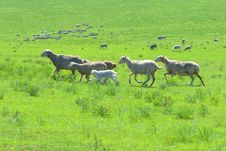 Free Sheep Stock Image - 5965021