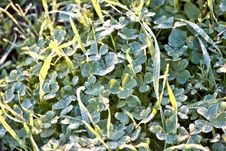 Free Clover With Dew On A Crisp Morning Royalty Free Stock Image - 5965816