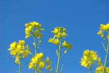 Free Yellow Rape Flowers Royalty Free Stock Images - 5965839