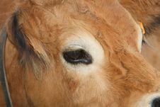 Free Cow Stock Photos - 5966843
