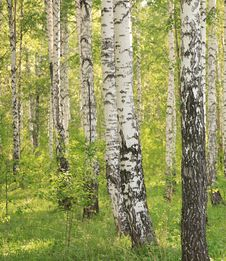 Free Birch Wood Stock Images - 5967084