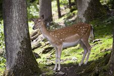 Free Young Deer Stock Image - 5967671