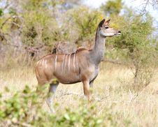 Kudu She-lamb Standing In Long Grass Stock Photography