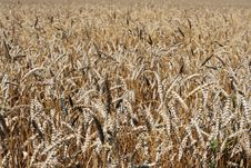 Free Wheaten Field Royalty Free Stock Photography - 5968047