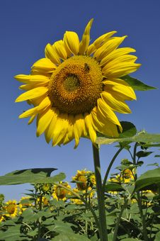 Free A Solitary Sunflower Stock Photo - 5968980