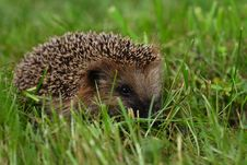 Free The Hedgehog Has Hidden In A Grass Royalty Free Stock Photos - 5969568