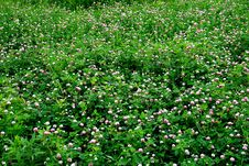 Lawn From A Clover Royalty Free Stock Image