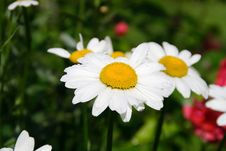 Garden Camomile Stock Image