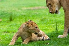 Lion Cub With Mother Royalty Free Stock Images