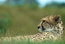 Free Beautiful Cheetah Stock Photos - 5969943