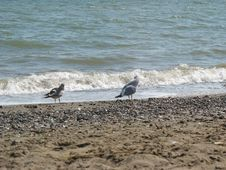 Free Gulls On The Beach Royalty Free Stock Photo - 59602935