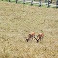 Free Deers Royalty Free Stock Photo - 5970555