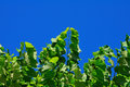 Free Lime Tree Against Blue Sky Royalty Free Stock Photos - 5974588