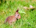 Free Bunny Smells A Clover Stock Photos - 5974613
