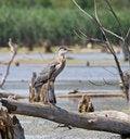Free Heron Royalty Free Stock Image - 5978066