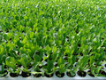 Free Young Salad Plant Stock Photography - 5978852