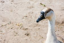 Free Goose Stock Images - 5970074