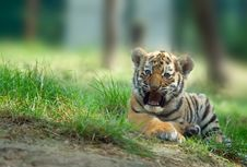 Free Siberian Tiger Cub Stock Photography - 5970082