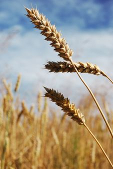 Free Wheat Spikes Stock Photography - 5970372