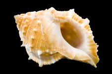 Free Conch Royalty Free Stock Images - 5971819