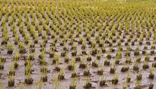 Free Rice Culture Field Stock Image - 5972301