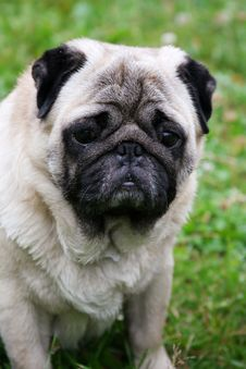Free Portrait Of Pug Stock Photo - 5972420