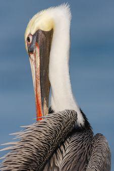 Free Brown Pelican Preening Stock Image - 5973001