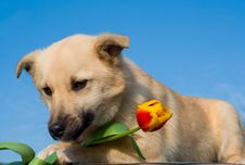 Free Puppy Dog With Tulip In Forefoots Royalty Free Stock Image - 5973686