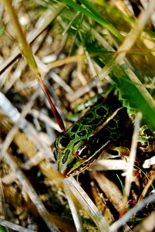 Free Frog Royalty Free Stock Images - 5974049