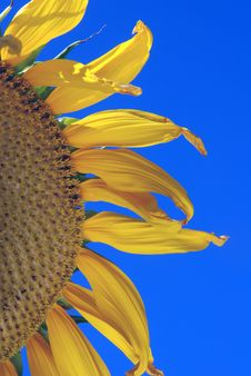 Free Golden Sun Flower Stock Image - 5974081