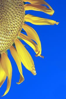 Free Golden Sun Flower Royalty Free Stock Photo - 5974085