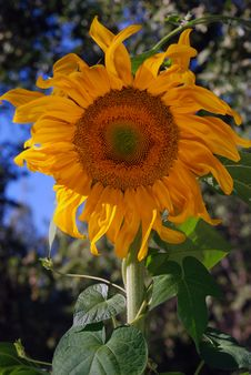 Free Golden Sun Flower Stock Image - 5974091