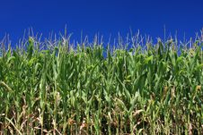 Free Maize Field And Blue Sky Royalty Free Stock Photography - 5974457