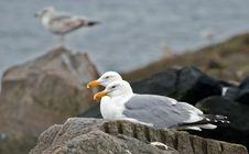 Free Pair Of Gulls Royalty Free Stock Image - 5974586