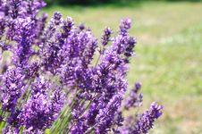 Lavender Farm Royalty Free Stock Photos