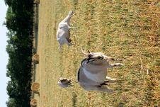 Free Three Goats Are Grazed Royalty Free Stock Photos - 5976528