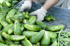 Free Pickling Cucumbers Stock Photos - 5976623