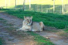 Lazy Lion Royalty Free Stock Image