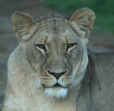 Free African Lioness Royalty Free Stock Photos - 5977908