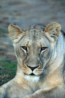 Free African Lioness Royalty Free Stock Photography - 5978007
