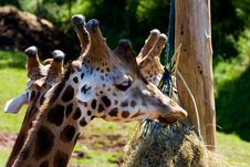 Free Giraffe Royalty Free Stock Photos - 5978018