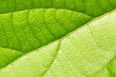 Free Leaf Texture Royalty Free Stock Image - 5978056
