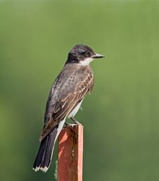 Kingbird Stock Images