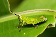 Free Green Grasshopper Stock Photography - 5978142