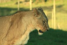 Free Lioness Royalty Free Stock Images - 5978199